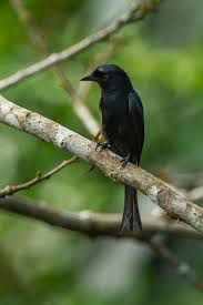 Canopy Birds by Velvet Mantled Drongo Wikipedia