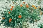 <b>Eschscholzia</b> lemmonii - Wikipedia, the free encyclopedia