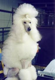 afghan hound and poodle the intelligence of dogs wikipedia