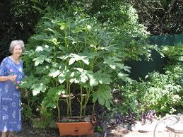 Okra Plant Diseases - heavily armed drug cops raid retiree u0027s garden seize okra plants