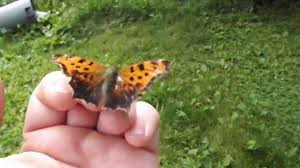 this butterfly lands on my finger and stays and rests awile