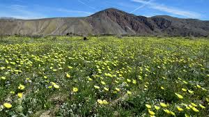anza borrego desert wildflower super bloom photos of the anza borrego desert anza