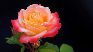 Flower Rose Free Photo Rose Flower Rose Flower Macro Free Image On