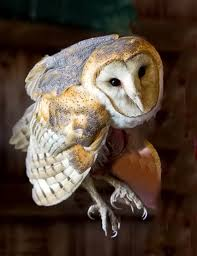 Barn Owl Photography Hunters Of The Night The Barn Owl