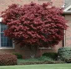 landmark landscapes trees for sale trees for sale lincoln ne here is a red foliage tree for that right spot in your yard likes sun to part shade bloodgood can grow to 15 20 tall by 15 20 wide this can be the