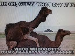 Hump Day Camel Meme - best of 20 camel meme wallpaper site wallpaper site