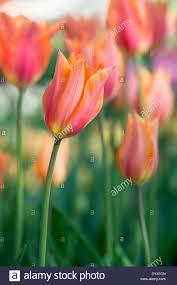 tulipa single late tulip u0027big brother u0027 flowers stock photo