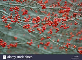 maine native plants winterberry shrubs loaded with red berries in november camden