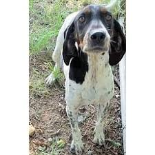 bluetick coonhound rescue illinois black with white bluetick coonhound for adoption