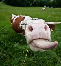 funny cow stock photos royalty free funny cow images depositphotos