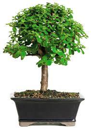 jade bonsai tree asian plants by brussel s bonsai