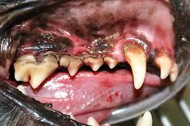 Dog Tooth Anatomy Canine Teeth