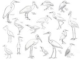 herons egrets ibis spoonbill nuthatch