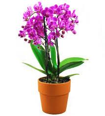 orchid plant fuchsia orchid farm fresh avas flowers