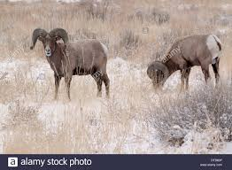 two bighorn rams grazing in winter in garden of the gods park in