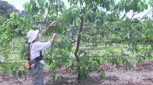 growing custard apple on a vertical trellis on vimeo