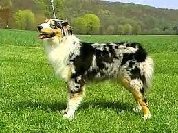westminster australian shepherd 2014 australian shepherd akc dog breed series youtube
