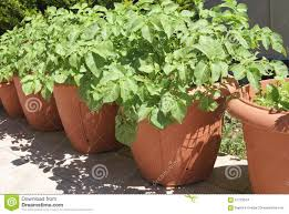 Vegetable Pot Garden by Potato Plants Growing In Pots In A Garden Stock Photo Image