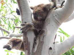 koalas 5 biggest myths koalas echidna walkabout