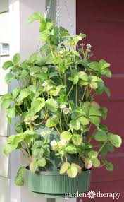 growing strawberries in hanging containers
