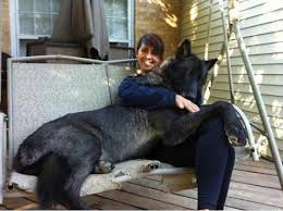 belgian sheepdog guard dog 58 best belgian shepards images on pinterest belgian shepherd