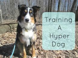 australian shepherd energy training a hyper dog tips and tricks for traning an australian