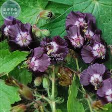 fleurs vivaces rustiques noir hardy achetez des lots à petit prix noir hardy en provenance