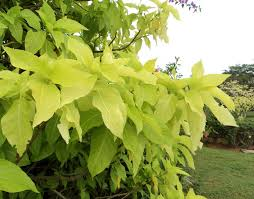 era nurseries buy trees online wholesale australian native vriksha nursery 20 plants that survive at the mumbai sea face