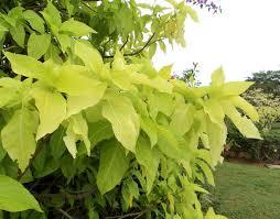 native hedgerow plants vriksha nursery 20 plants that survive at the mumbai sea face