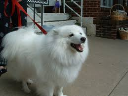 american eskimo dog new zealand dog pictures see your dog u0027s picture here