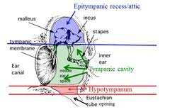Attic Ear Anatomy Eustachian Tube Pictures Posters News And Videos On Your