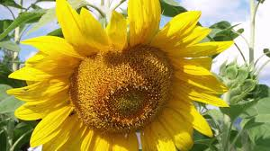russian native plants sunflower seeds russian mammoth helianthus annuus american meadows