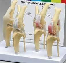 3d Knee Anatomy Anatomical Canine Model U0026 3d Anatomy Models