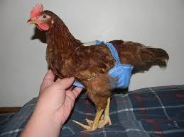 Backyard Chickens Forum by Http Www Backyardchickens Com Forum Uploads