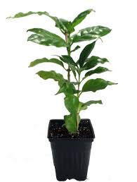 amazon com hirt u0027s arabica coffee bean plant 3 5