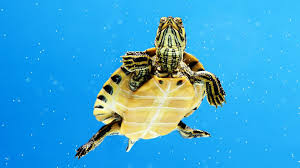 what u0027s an aquatic turtle pet turtles youtube