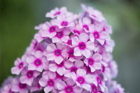 info on garden phlox growing hardy garden phlox