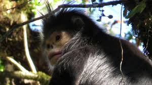 bbc earth rare photos of oddball monkey