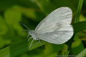 wood white butterfly leptidea sinapis butterfly garden