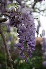wisteria meaning wisteria sinensis chinese wisteria rancho los cerritos