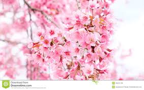 Pink Colour by Beautiful Pink Colour Cherry Blossom Stock Photo Image 49415135