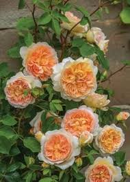 10 gorgeous new roses to grow for 2018 spring ahead gardens and