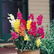 snapdragon flowers 100 flower antirrhinum snapdragon seeds flower