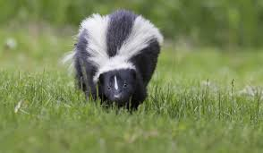 how to identify different types of skunks terminix
