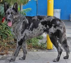 australian shepherd los angeles rescue german shepherd strong and loyal german shepherd rescue