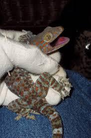 halloween mask leopard gecko 151 best gecko u0027s images on pinterest geckos animals and lizards