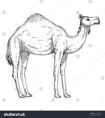 camel stock vector 315694826 shutterstock