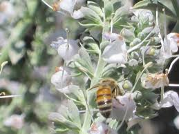 native sage plants white sage and bees and our other sage friends root simple