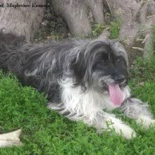 australian shepherd x puppies for sale aussiedoodle puppies for sale