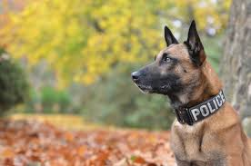 belgian shepherd malinois military top 11 best tracking dogs of all time
